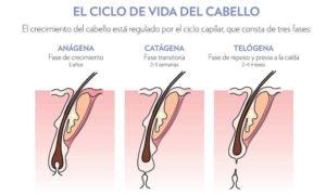 El ciclo de vida del capilar